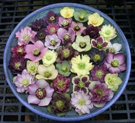 Helleborus�x hybridus `Winter Jewel� (WJ) Series��