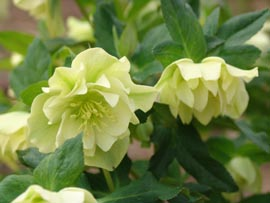 Helleborus x hybridus ` Mrs Betty Ranicar�