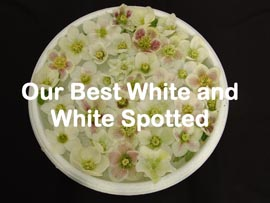Helleborus�x hybridus `Pine Knot Select�Our best Whites and spotted Whites��
