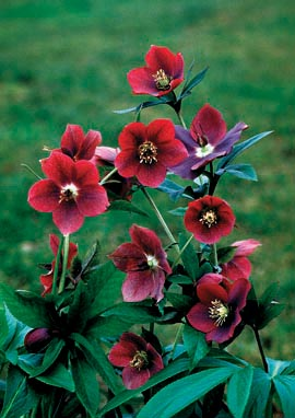 Helleborus�X hybridus Red Lady