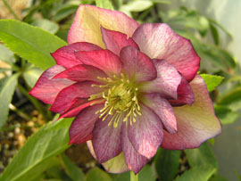 Helleborus x hybridus Stained Glass