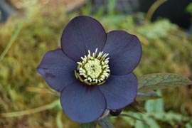 Helleborus�x hybridus `Winter Jewel Black Diamond