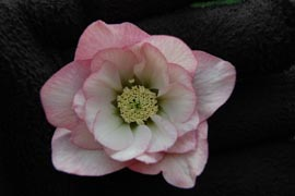 Helleborus�x hybridus `Winter Jewel Cotton Candy�
