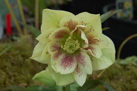 Helleborus�x hybridus `Winter Jewel Golden Lotus'�