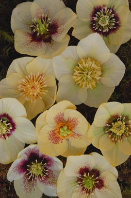 Helleborus�x hybridus `Winter Jewel Golden Sunrise