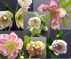Helleborus x hybridus Pine Knot Select Southern Our Best Double Picotee Strainvariegated
