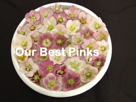 Helleborus�x hybridus `Pine Knot Select�Our best Pinks�