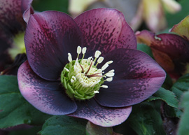 Helleborus x hybridus Winter Thriller Grape Galaxy