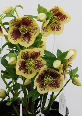 Helleborus x hybridus Winter Thriller Ice Follies