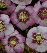 Helleborus x hybridus Winter Jewel Cherry Blossom