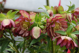 Helleborus x hybridus Winter Jewel Peppermint Ice