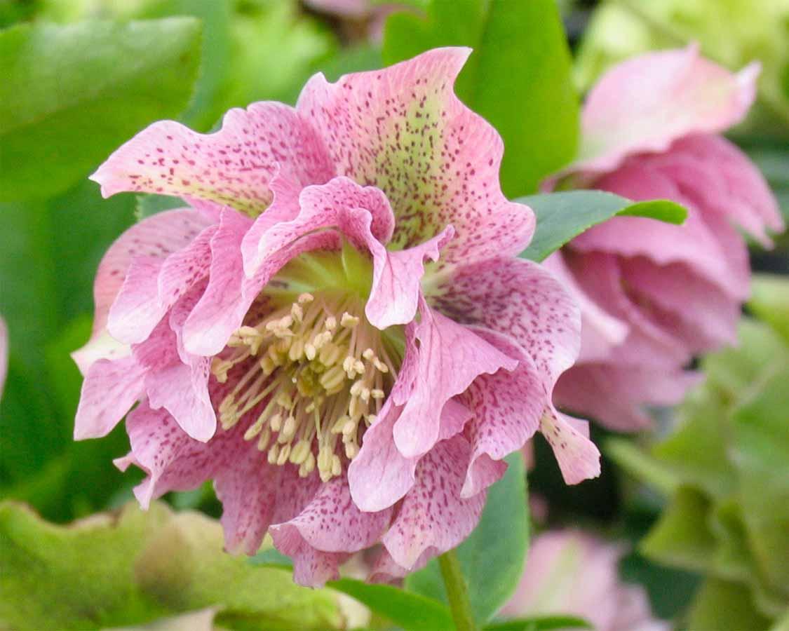 double purple bicolor hybrid lenten rose for sale buy helleborus x hybridus pdn double purple 1