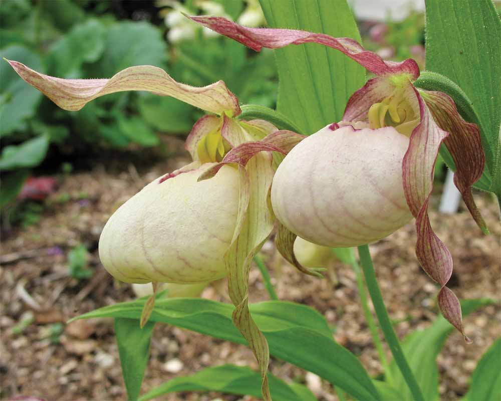 perennial_m_cypripedium gisela yellow.jpg