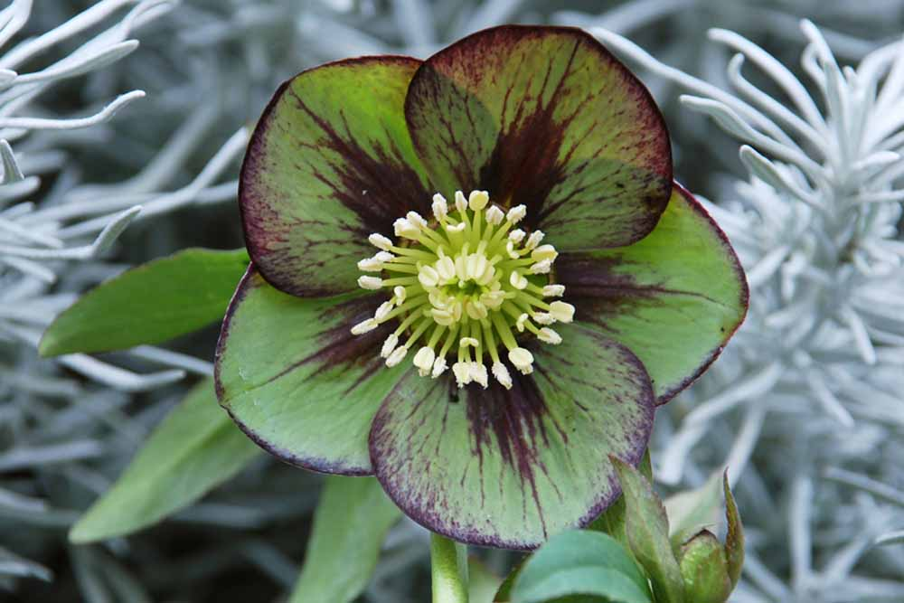 perennial_m_helleborus_winter_jewels_jade_star.jpg