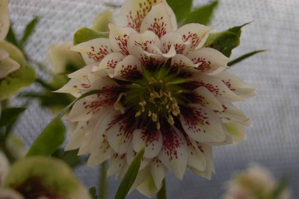 perennial_m_helleborus_x_hybridus_winter_jewel_double_painted3.jpg